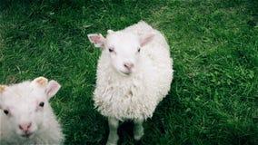 Een jong nieuwsgierig lam die een waakzaam oog op de camera houden