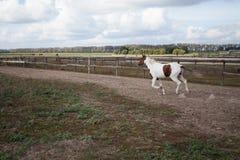 Een jong paard die in een stal bij een galop lopen stock fotografie