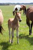 Een jong paardveulen, merrieveulen dat zich in een gebiedsweide bevindt stock foto's