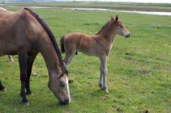 Een jong paardveulen, merrieveulen dat zich in een gebiedsweide bevindt Stock Afbeelding