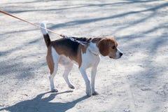 Een jong ras van de hondbrak loopt op een zonnige middag met een meisje op een zandig strand en een gras stock foto's