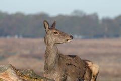 Een jong rood hert achterste bij eerste omhoog dicht licht stock afbeelding
