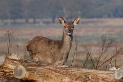 Een jong rood hert achterste bij eerste omhoog dicht licht stock fotografie