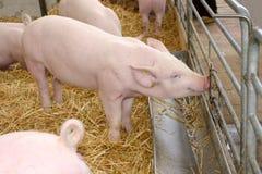 Een jong varkens drinkwater stock foto's