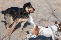Een jong vlot-Haired ras van hondjagdterrier loopt op een zonnige middag met een meisje op een zandig strand en een gras royalty-vrije stock afbeeldingen