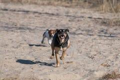 Een jong vlot-Haired ras van hondjagdterrier loopt op een zonnige middag met een meisje op een zandig strand en een gras royalty-vrije stock foto's