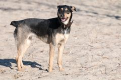 Een jong vlot-Haired ras van hondjagdterrier loopt op een zonnige middag met een meisje op een zandig strand en een gras stock foto