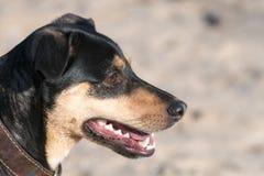 Een jong vlot-Haired ras van hondjagdterrier loopt op een zonnige middag met een meisje op een zandig strand en een gras stock foto's