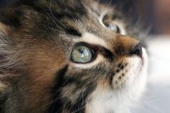 Een jong zoet vrij Noors katje Royalty-vrije Stock Foto's