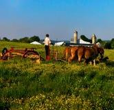Een jonge amishmens snijdt gras op een gebied met een team van muilezels stock afbeeldingen