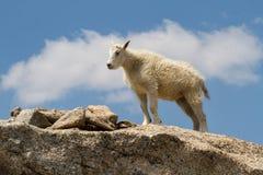 Een jonge Berggeit Oreamnos americanus op een graniet craig Royalty-vrije Stock Foto