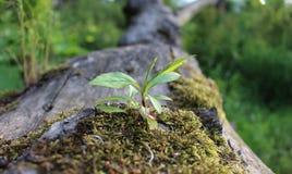 Een jonge boom op een oude boomstam royalty-vrije stock afbeelding