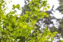 Een jonge boom van hazelaar stock afbeeldingen