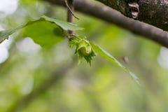 Een jonge boom van hazelaar royalty-vrije stock fotografie