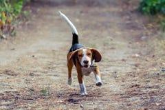 Een jonge daverende pret van de brakhond in het bos Royalty-vrije Stock Fotografie