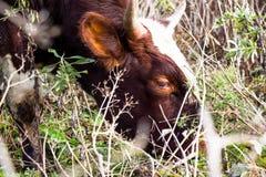 Een jonge en mooie koe eet gras op weiland De koeien leven op een landbouwbedrijf stock afbeeldingen