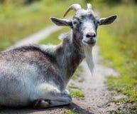 Een jonge geit weidt in een weide Portret van een grappige geit De geit bekijkt de camera Stock Foto's