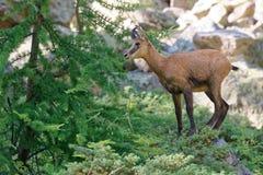 Een jonge gems in het Nationale Park van Ecrins Stock Foto's