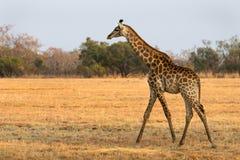Een jonge giraf die in de savanne lopen Stock Foto