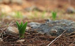 Een jonge groene bloemspruit in pijnboombos Stock Foto's