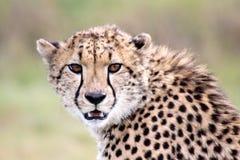 Een jonge jachtluipaard in kgalagadi royalty-vrije stock fotografie
