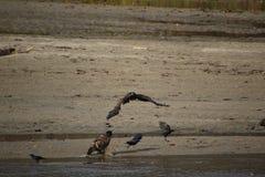 Een jonge kale adelaar die bij een andere adelaar vliegen stock afbeeldingen