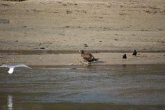 Een jonge kale adelaar die zich op de rand van een zandig strand bevinden stock fotografie