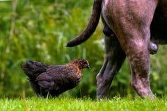 Een jonge kip volgt een hond Royalty-vrije Stock Fotografie
