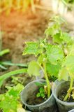 Een jonge komkommer groeit in de grond Landbouw, groenten, organische landbouwproducten, agro-industrie Zaailingen van komkommer stock foto