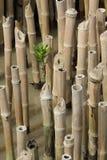 Een jonge mangrove Stock Fotografie