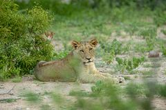 Een jonge mannelijke leeuw die met omhoog hoofd rusten royalty-vrije stock afbeelding