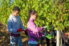Een jonge mens en een meisje verzamelen druiven in een wijngaard Het oogsten in Toscanië stock fotografie