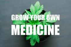 Een jonge mooie cannabis plant medische marihuana op een zwarte houten achtergrond met een plaats dichte omhooggaand uw eigen gen Royalty-vrije Stock Afbeelding