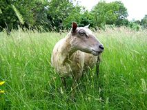 Een jonge ooi op een gebied in de zomer stock afbeelding