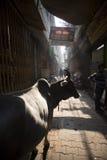 Een jonge os in de achterstegen van Varanasi royalty-vrije stock foto