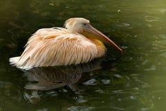 Een jonge pelikaan zwemt in het meer stock foto's