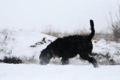 Een jonge reus schnauzer op de looppas snuift sneeuw op de rivierbank in de winter stock afbeelding