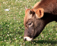 Een jonge stier Stock Fotografie