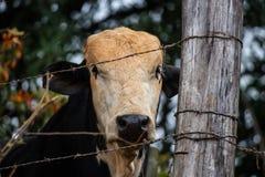 Een jonge stier royalty-vrije stock afbeelding