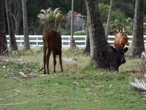 Een jonge stier op een tropische kokosnotenaanplanting stock video