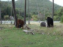Een jonge stier op een tropische kokosnotenaanplanting stock videobeelden