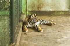 Een Jonge tijger op kooi het rusten Stock Foto