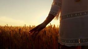 Een jonge vrouw is op een tarwegebied en raakt de hand van tarweoren Het gebied van de tarwe bij zonsondergang stock videobeelden