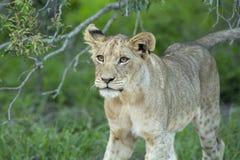 Een jonge vrouwelijke leeuw die zich in de struik bewegen stock afbeelding