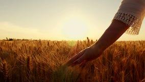 Een jonge vrouwen` s hand die tarwegebied doornemen De meisjes` s hand wat betreft tarweoren sluit omhoog De tijd van zonsonderga stock video