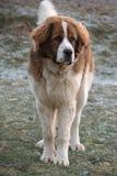 Een jonge waakhond van Moskou Stock Foto
