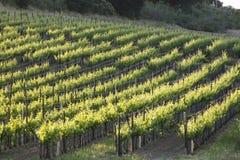 Een jonge wijngaard in Santa Ynez, Californië tijdens de lente stock foto's