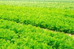 Een jonge wortel groeit in het grondclose-up bewerkend, milieuvriendelijke landbouwproducten, detox, verse groenten, vegetarisch  stock afbeeldingen