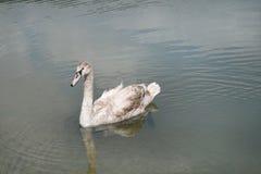 Een jonge zwaan bent een stomme in het meer abrau-Durso stock foto
