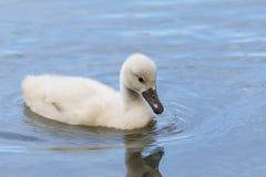 Een jonge zwaan zwemt Royalty-vrije Stock Fotografie